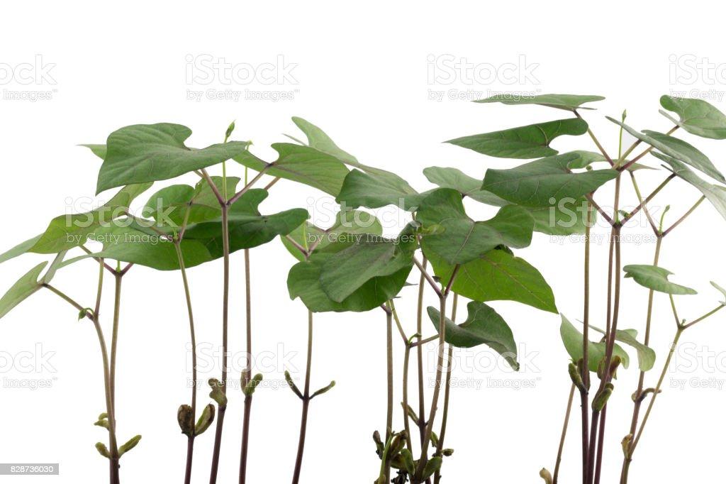 Junge Stangenbohnen Pflanzen stock photo