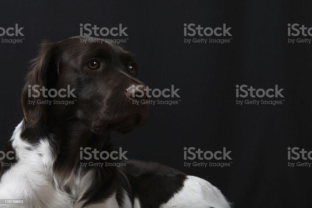 Junger Kleiner Muensterlaender Jagdhund Münsterländer stock photo