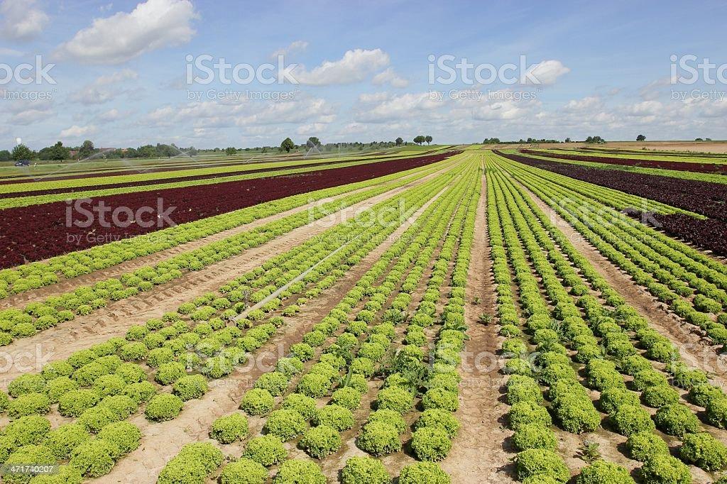 Junger Salat auf dem Feld stock photo