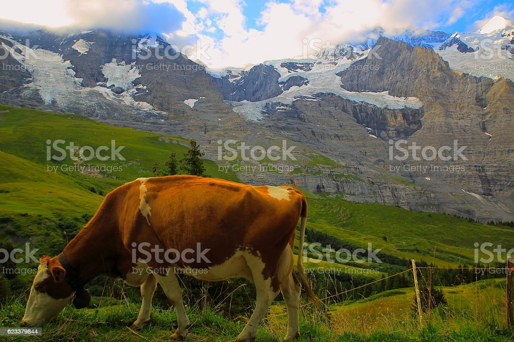 Jungfrau and cow above Lauterbrunnen valley, Bernese Oberland, Swiss Alps stock photo