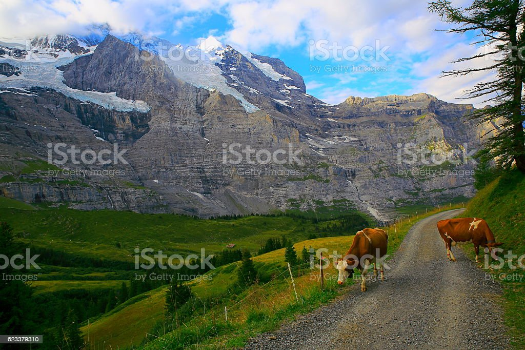Jungfrau and cows above Lauterbrunnen valley, Bernese Oberland, Swiss Alps stock photo