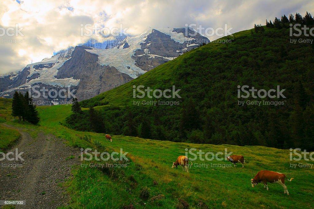 Jungfrau, Cows feeding, Bernese Oberland, Swiss Alps stock photo
