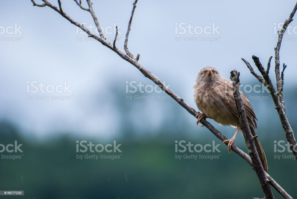 Jungle Babbler on a tree branch stock photo