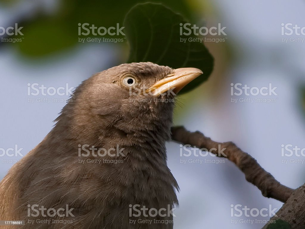 Jungle Babbler (Turdoides Striatus) stock photo