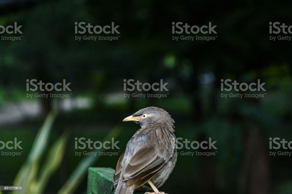 Jungle Babbler stock photo