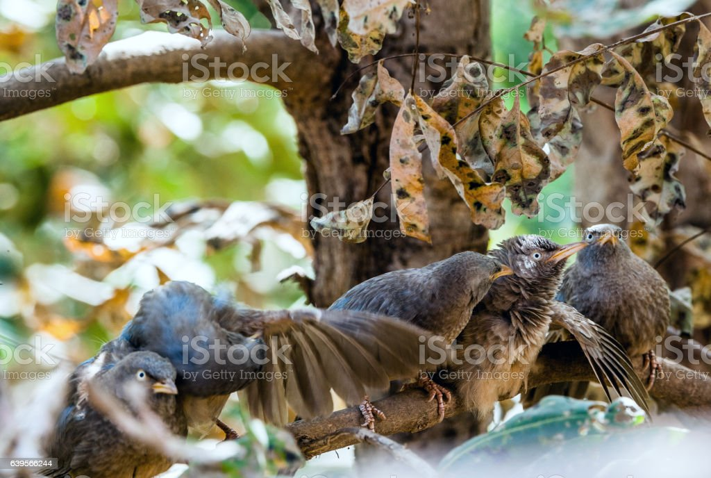 Jungle bablers on the branch stock photo