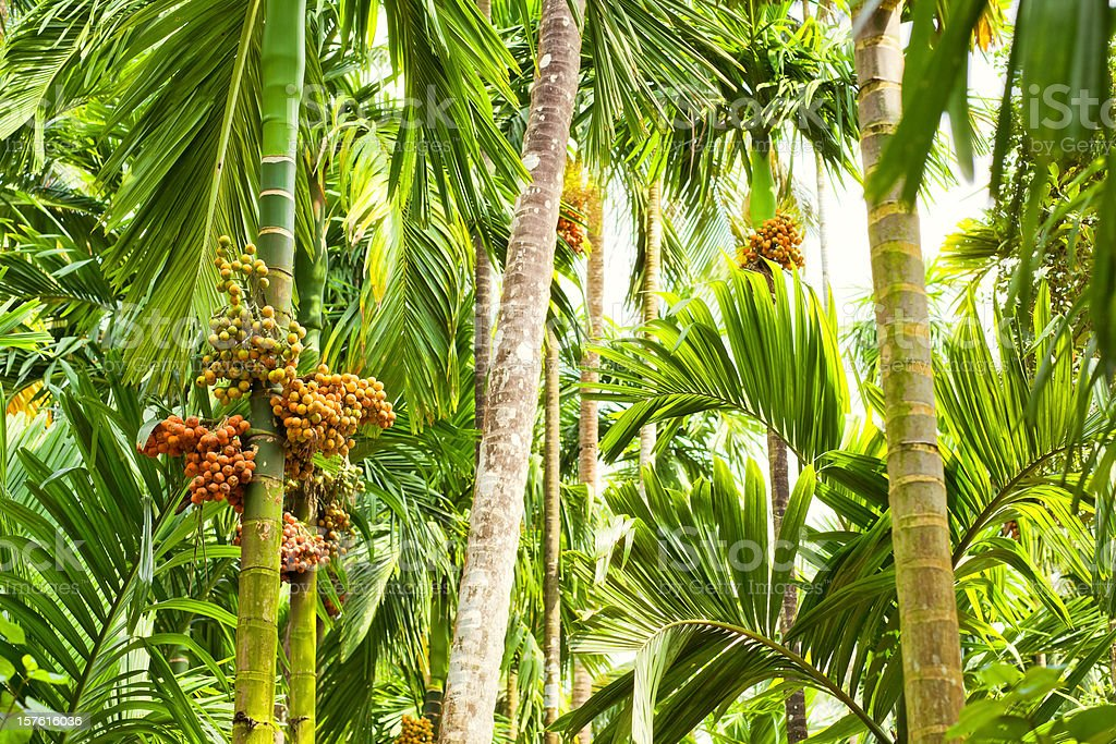 Jungle - Betel Palm ( Areca ) stock photo