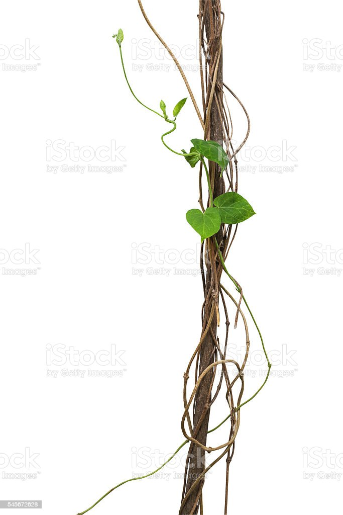 Jungle dried vines with heart shape green leaves vine climbing stock photo
