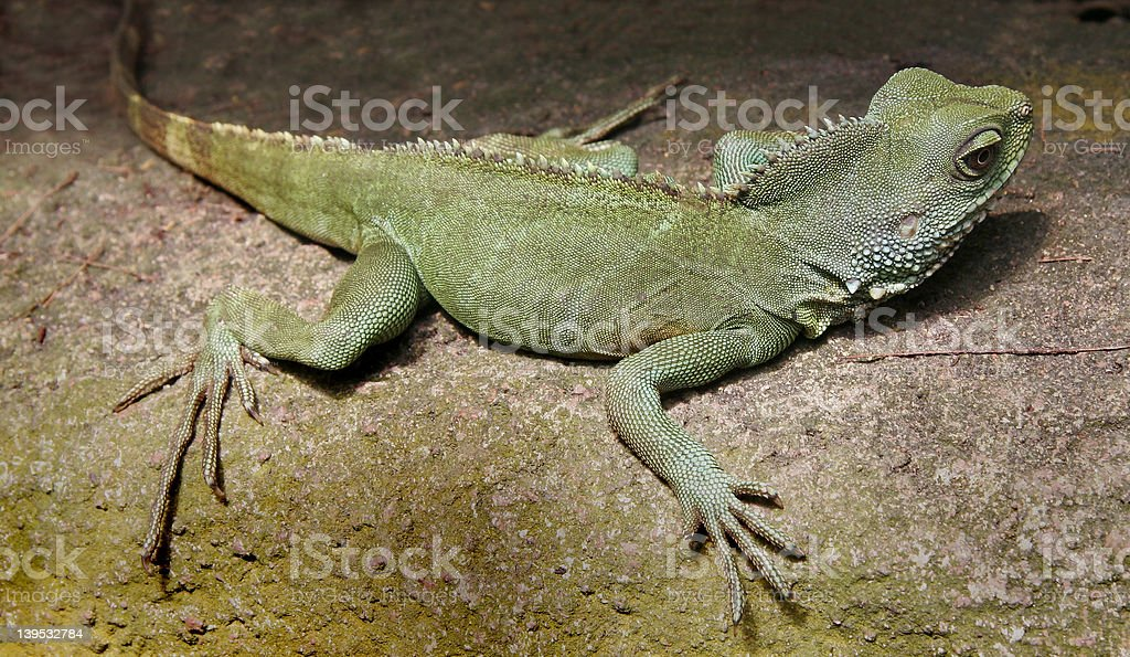 Jungle lizard stock photo