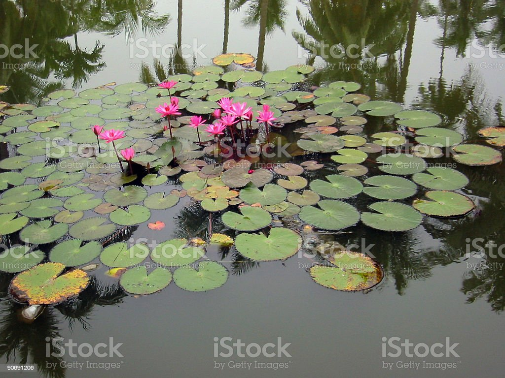jungle pond royalty-free stock photo