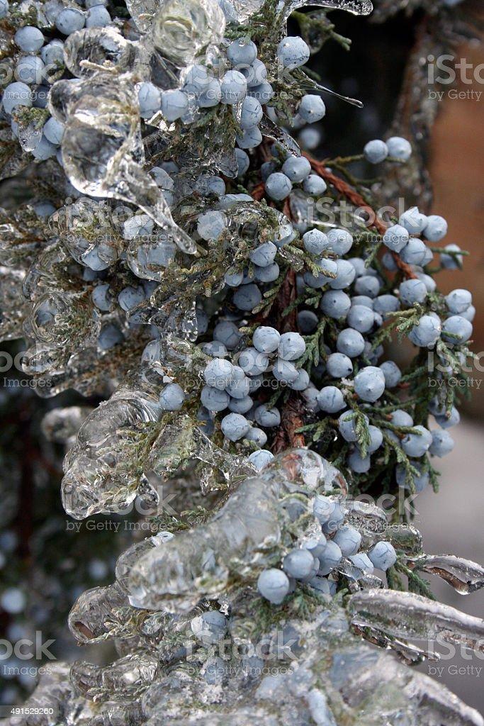 Juniper Berries Frozen In Ice After Winter Storm stock photo