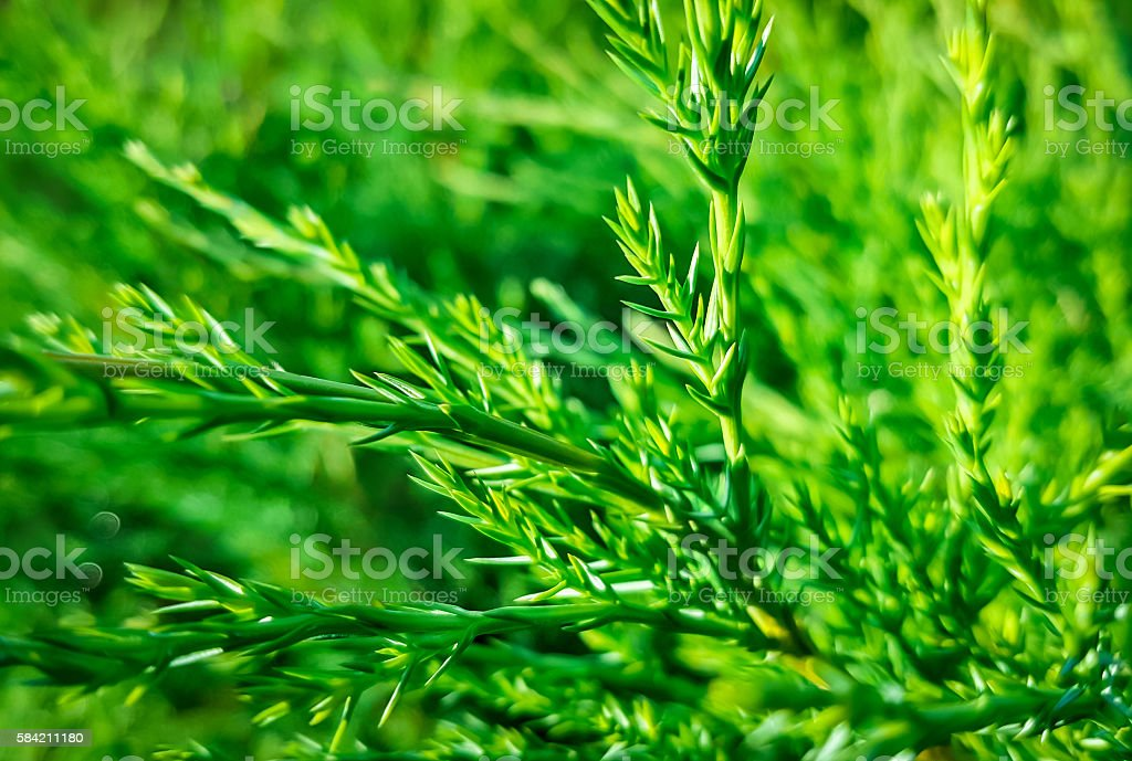 Juniper branch on natural background stock photo