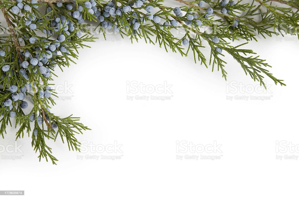 Juniper Branch with Blue Frosted Berries, Corner Border Frame stock photo