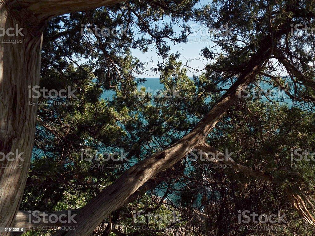 Juniper bush photo libre de droits