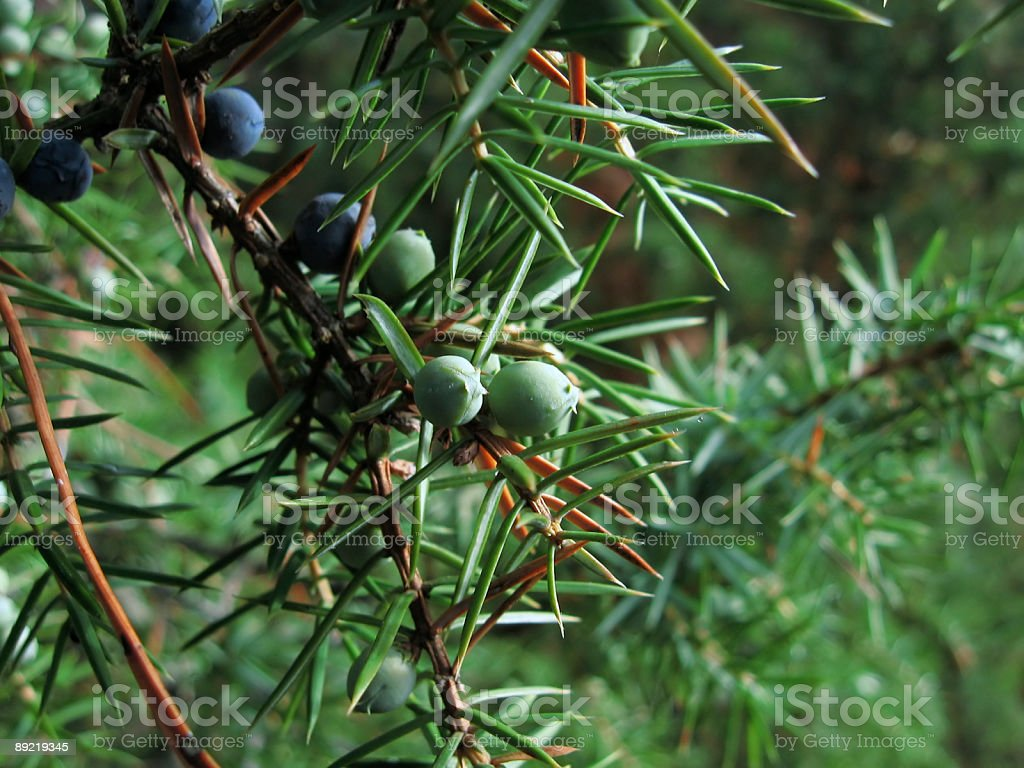 juniper fruits royalty-free stock photo