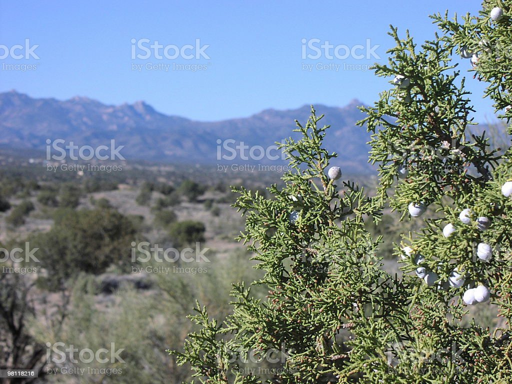 juniper in arizona royalty-free stock photo