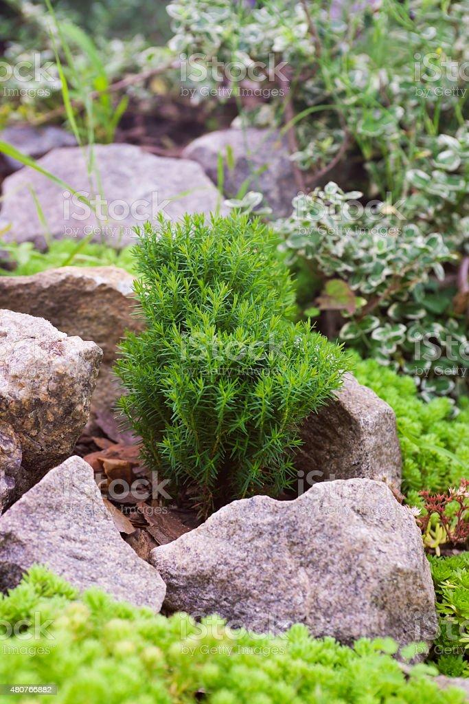 Juniper (Juniperus) stock photo