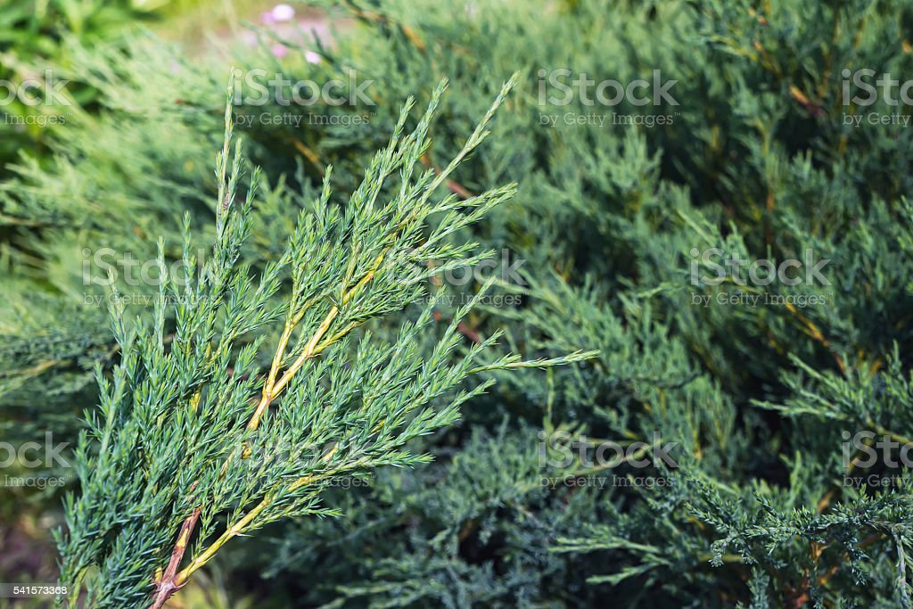 Juniper plant foto de stock royalty-free