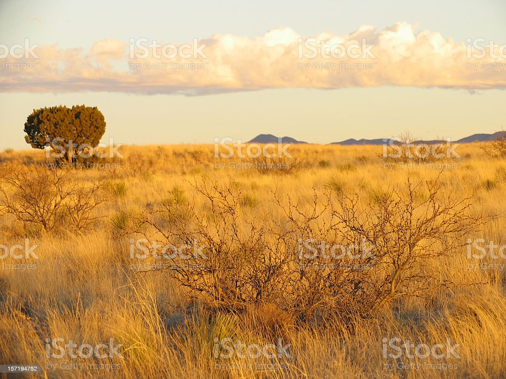 Juniper Tree and Mesquite royalty-free stock photo