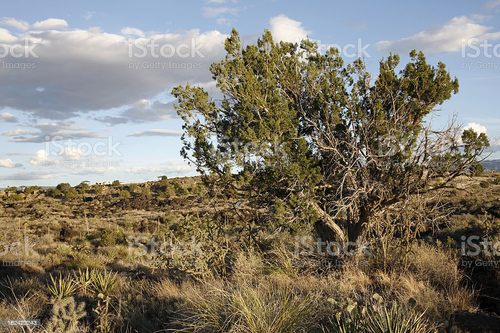 Juniper Tree at Valley of Fires Recreation Area stock photo