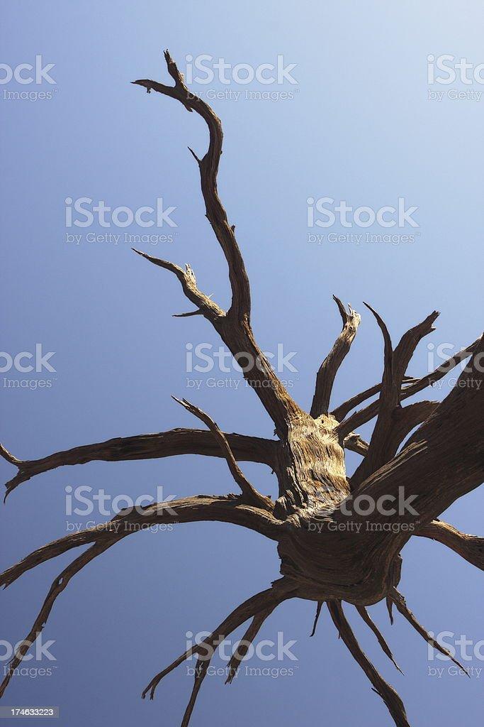 Juniper Tree Juniperus osteosperma Branches royalty-free stock photo