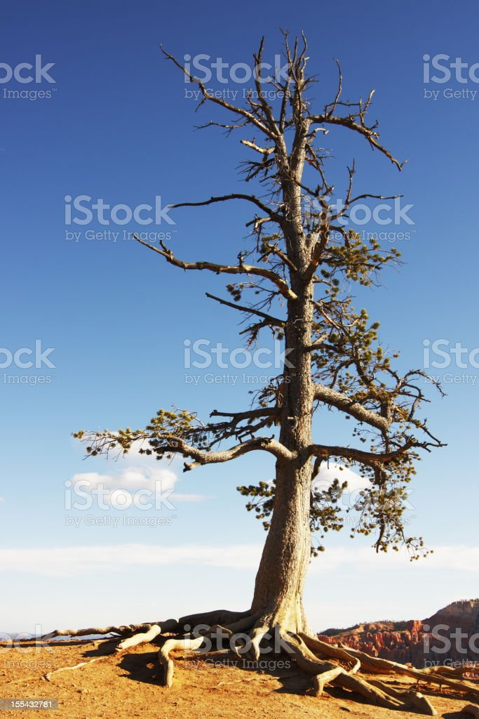 Juniper Tree Juniperus osteosperma stock photo
