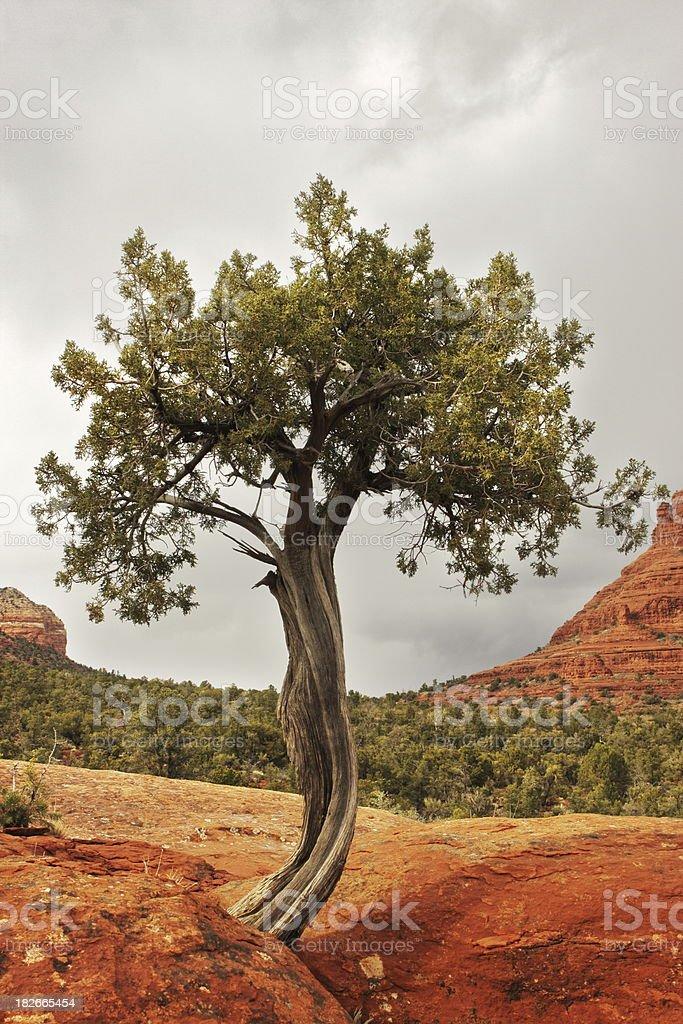 Juniper Tree Juniperus osteosperma royalty-free stock photo