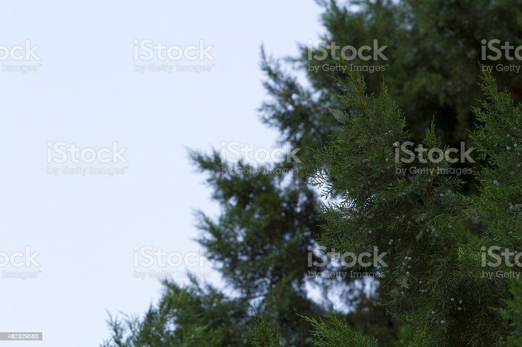 Juniper Tree stock photo