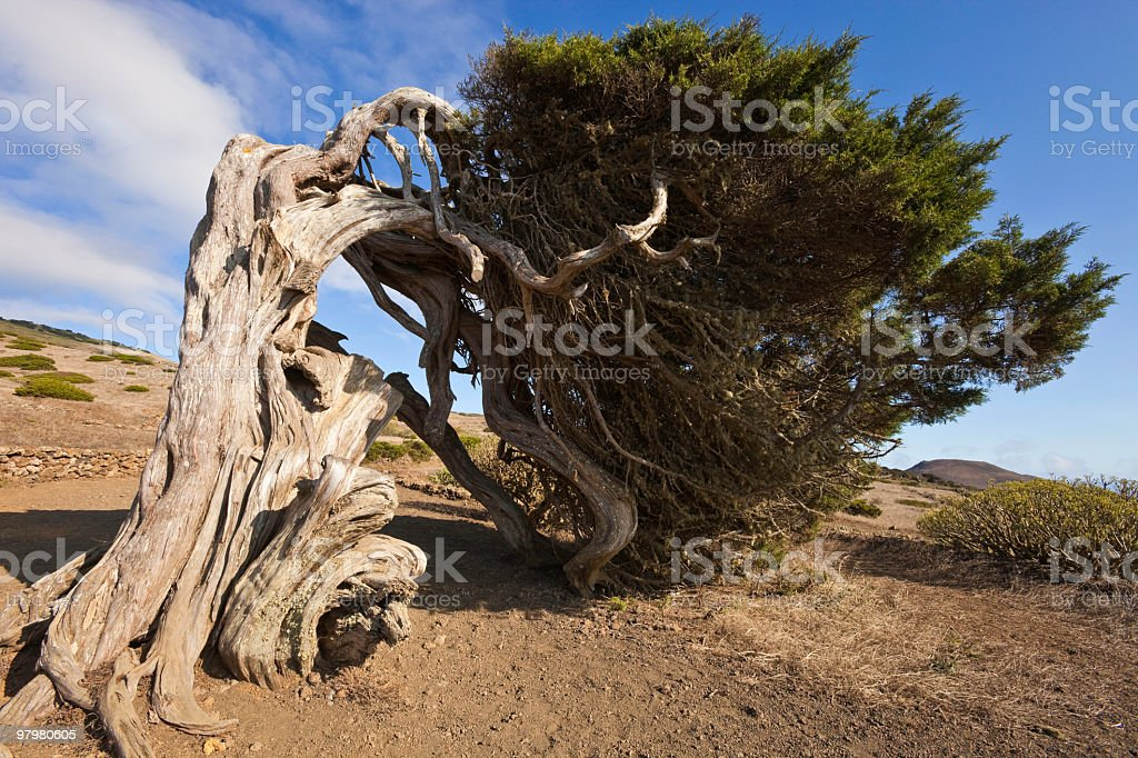 Juniper Tree twisted by the Wind, El Hierro, Canary Islands stock photo