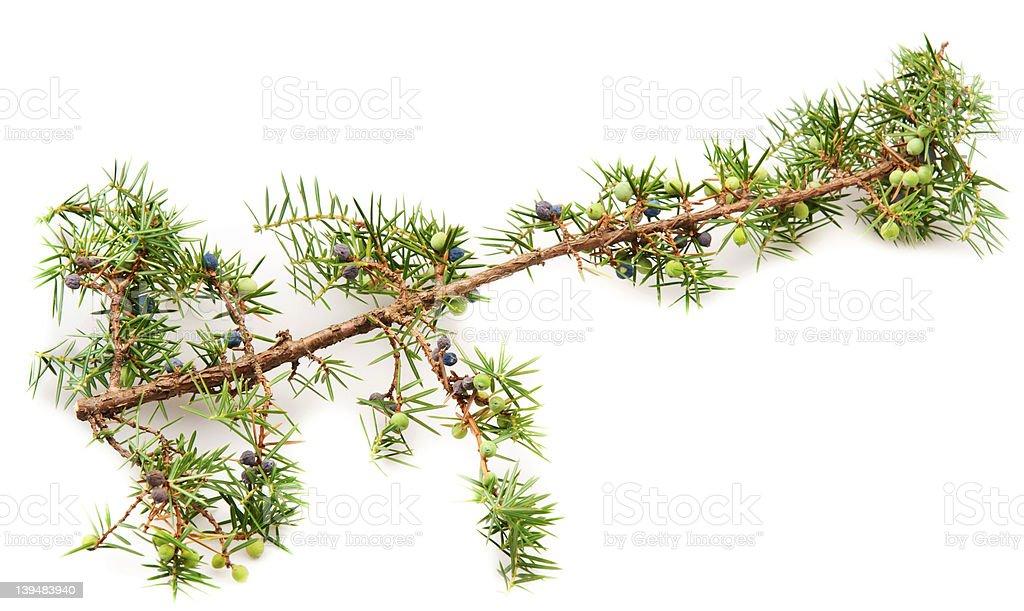 Juniper twig and berries stock photo