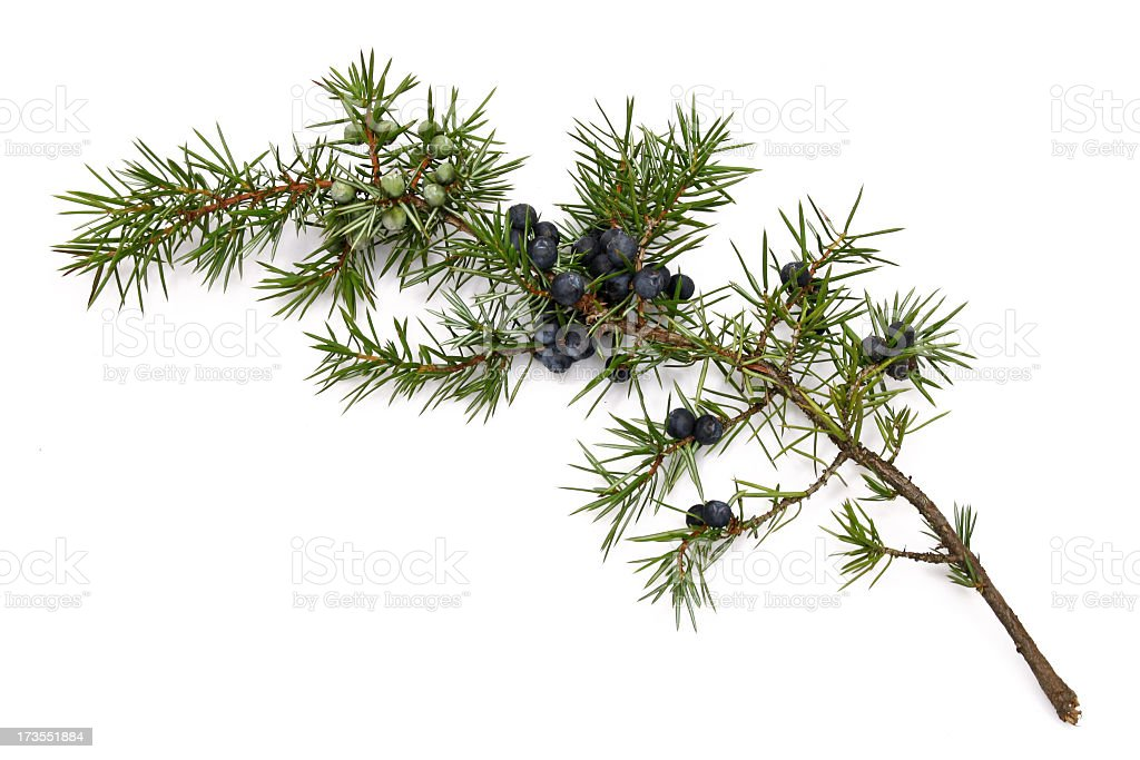 Juniper twig stock photo
