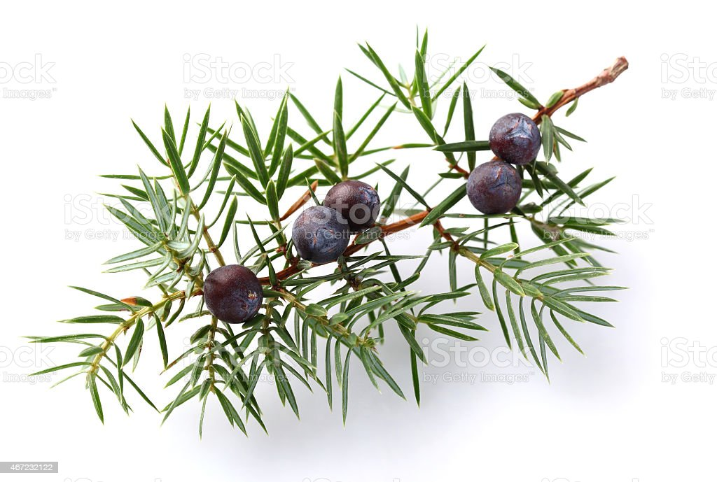 Juniper twig with berry stock photo