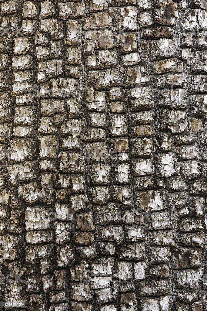 Juniperus deppeana Alligator Juniper Tree Bark royalty-free stock photo