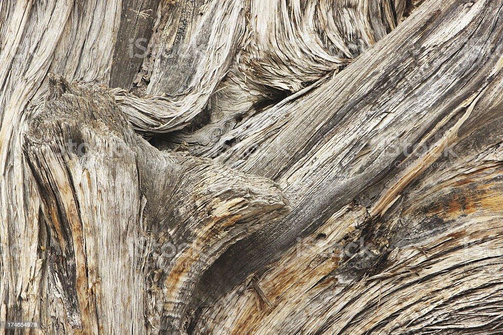 Juniperus osteosperma Tree Woodgrain royalty-free stock photo