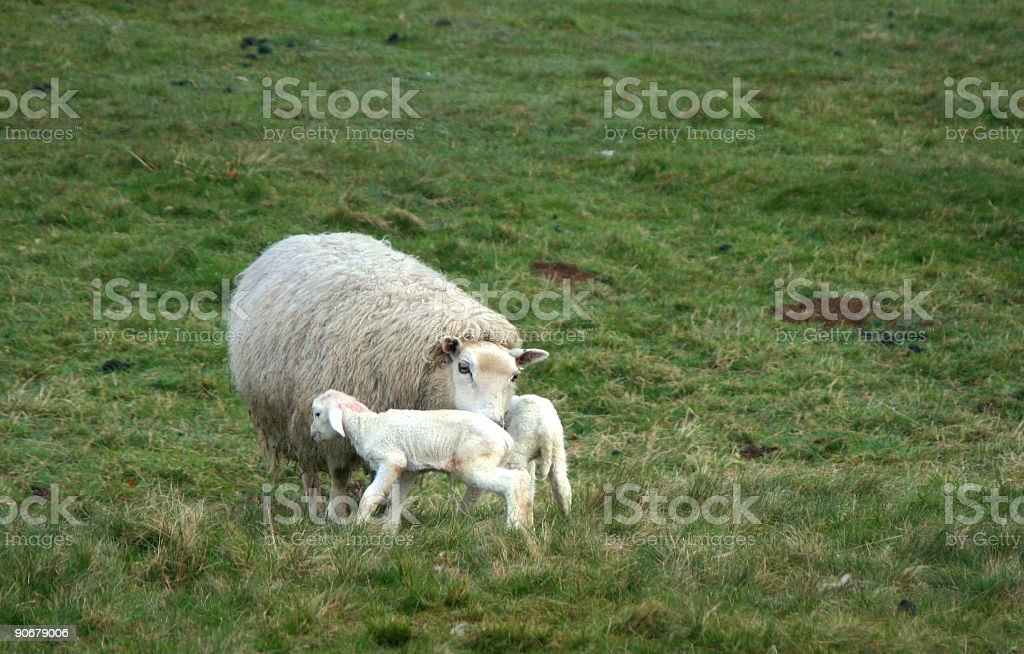 Just born lambs stock photo