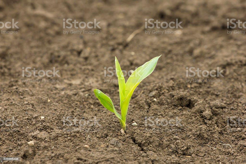Just germinated corn stem close up in springtime stock photo