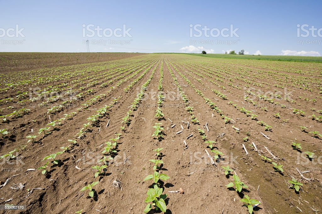 Just germinated sunflower seeds on sunny day in springtime stock photo