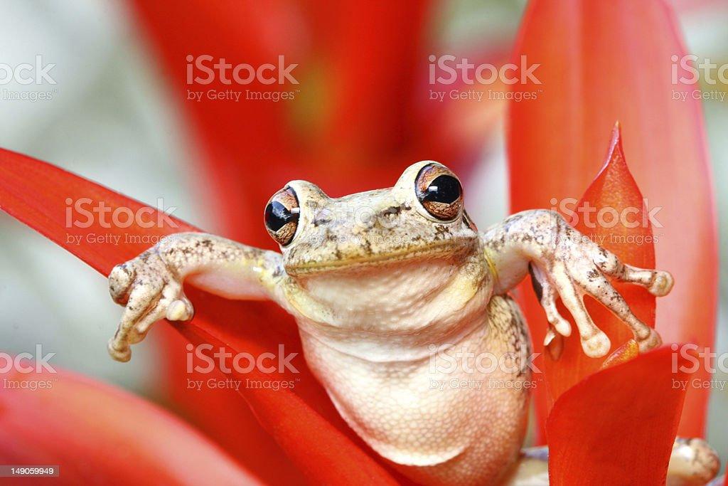 Just Hanging Around, Treefrog on Red Bromelaid stock photo