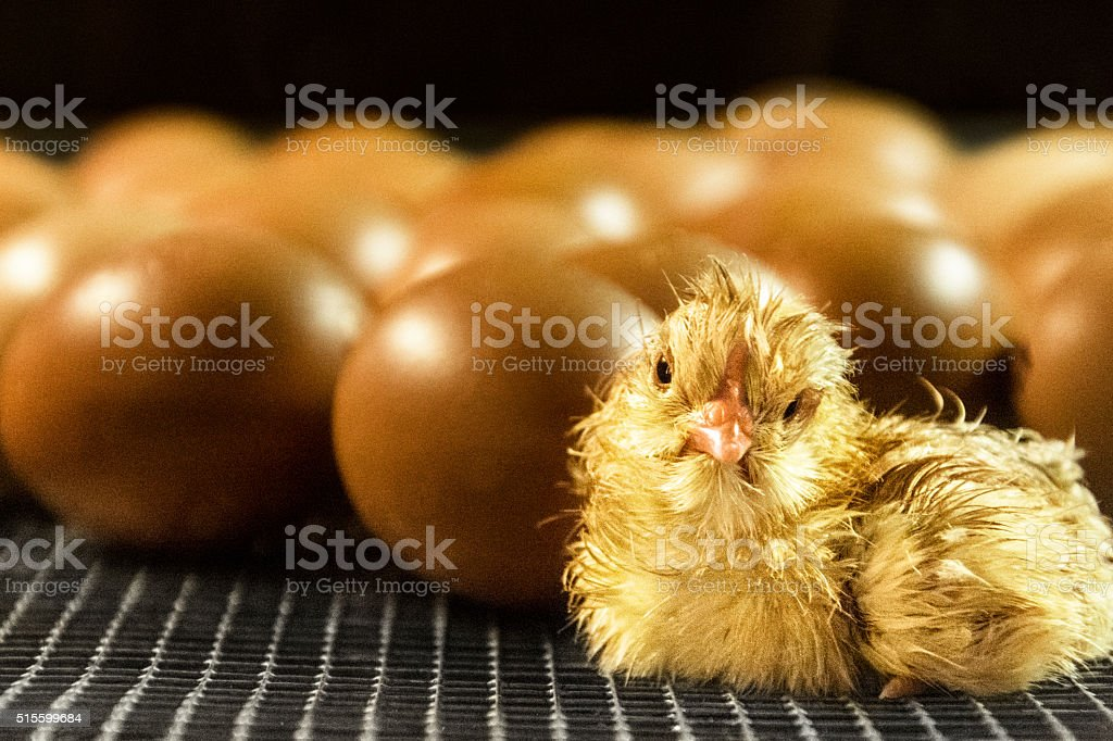 Just hatched baby chicken stock photo