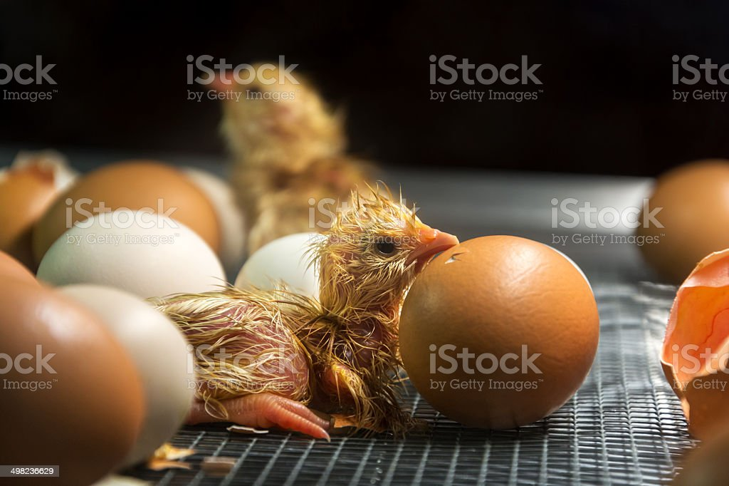 Just hatched chick (shallow DOF) stock photo