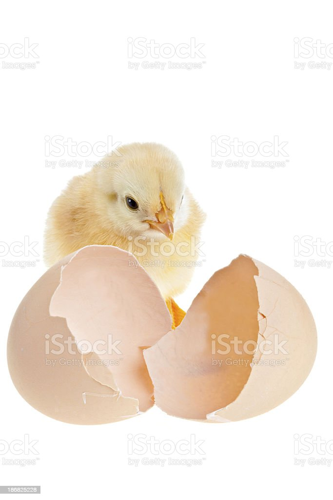 Just Hatched royalty-free stock photo