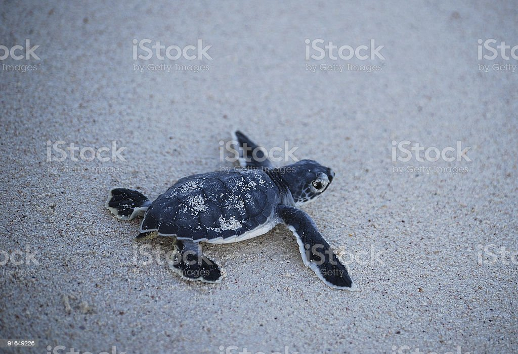just hatched turtle baby  trying to reach the ocean royalty-free stock photo