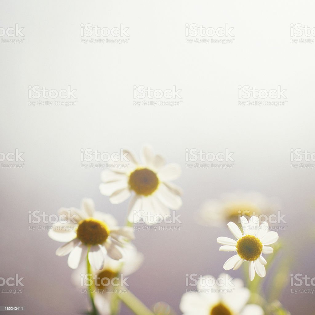 Just little daisy royalty-free stock photo