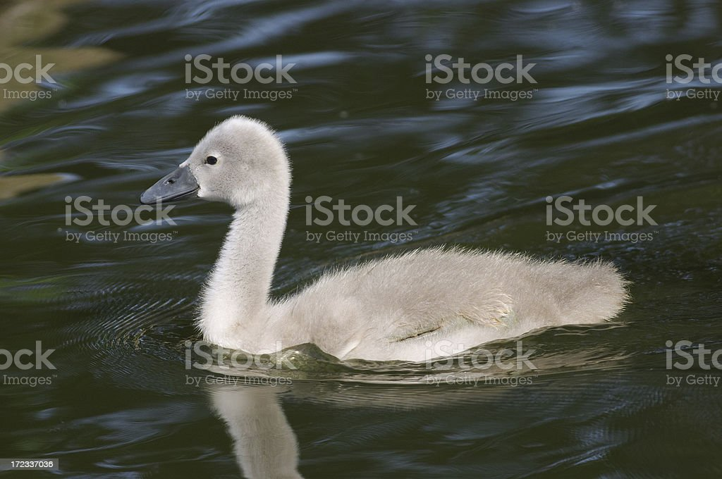 Last of the brood mute swan cygnet royalty-free stock photo