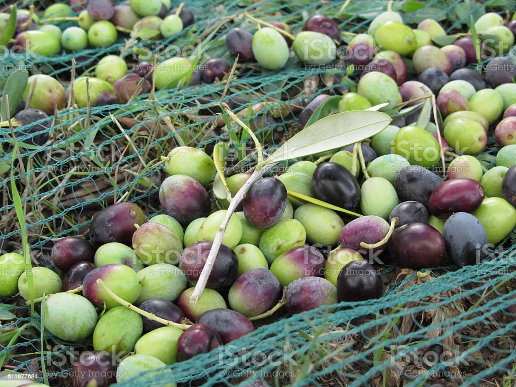 Just picked olives on the net during harvest time stock photo