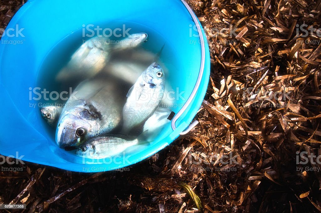 Just-Caught Mediterranean Fish (Sea Bream) in Blue Bucket (Close Up) stock photo