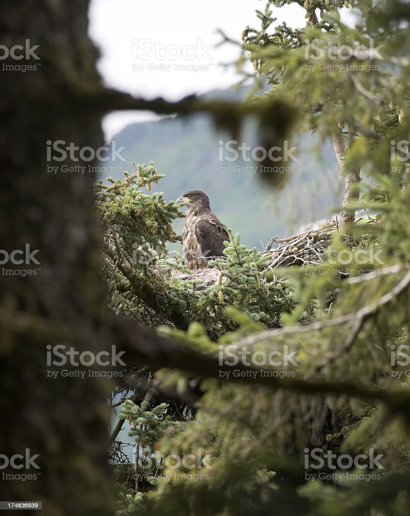 Juvenile American Bald Eagle royalty-free stock photo
