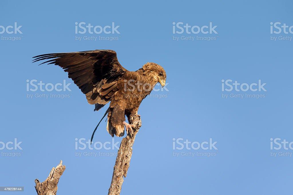 Juvenile Bateleur balancing on branch stock photo