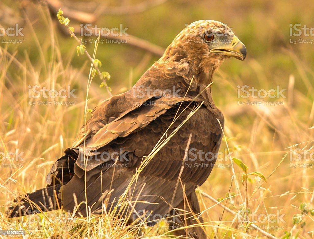 Juvenile Bateleur Eagle stock photo