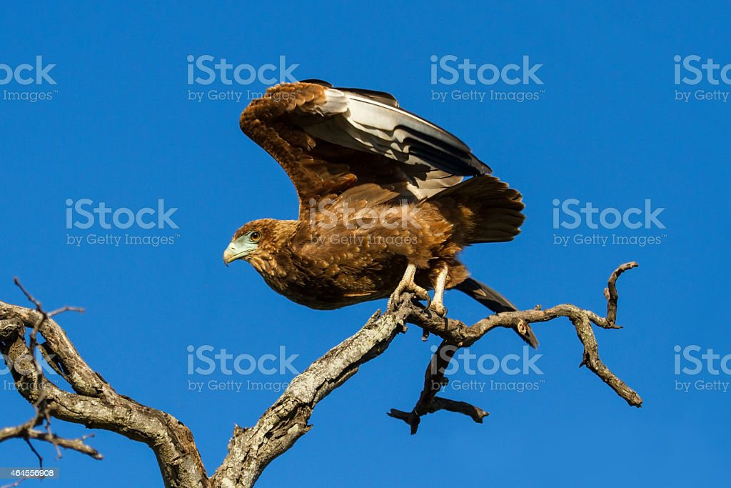 Juvenile Bateleur Eagle take off from branches with blue sky stock photo